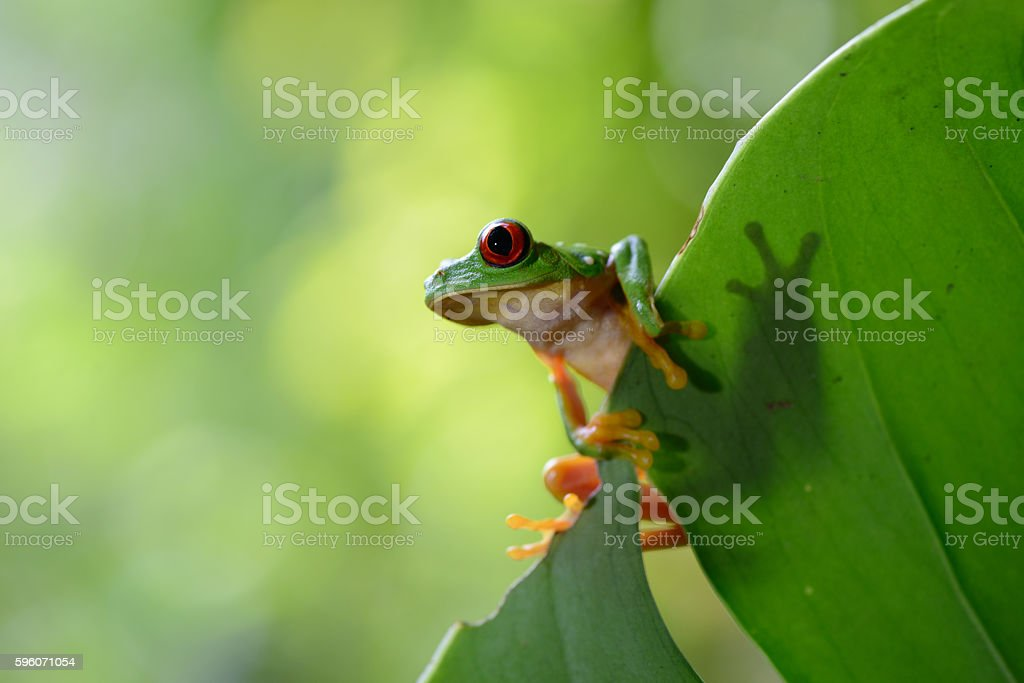 Red Eye Frog 35 stock photo