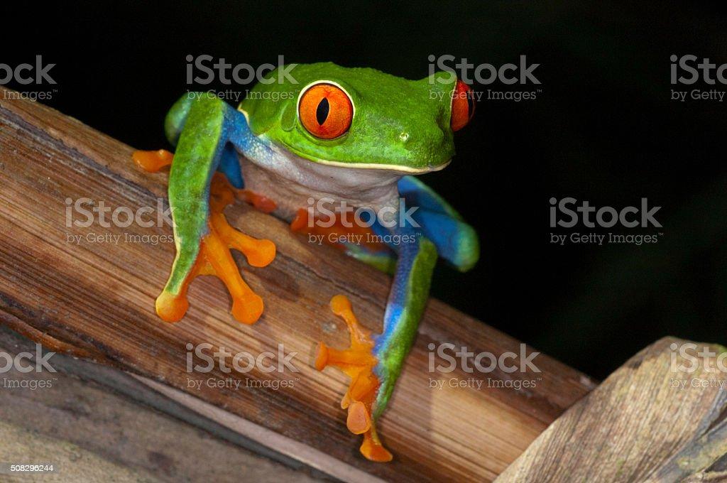 red eye frog costa rica stock photo