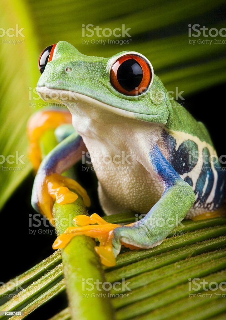 Red eye frog royalty-free stock photo