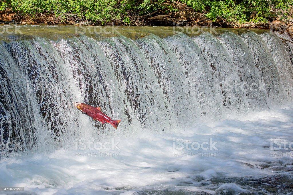Red Eye Salmon swimming upstream stock photo