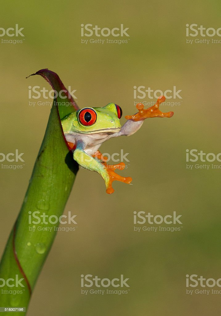Red eye tree frog in the leaves stock photo