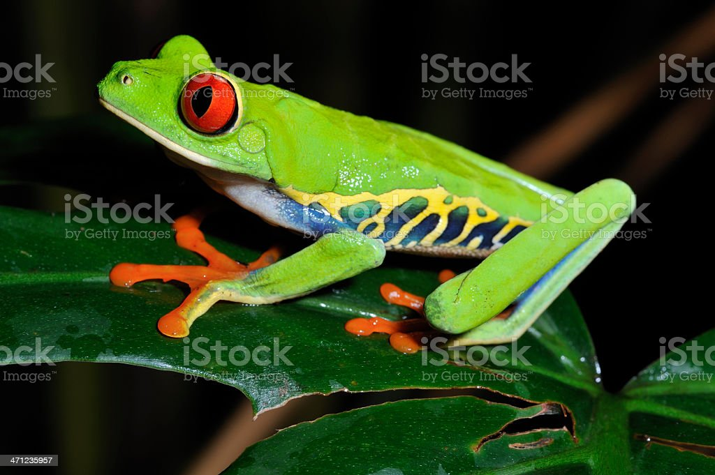 Red Eye Tree Frog on a leaf, Costa Rica stock photo