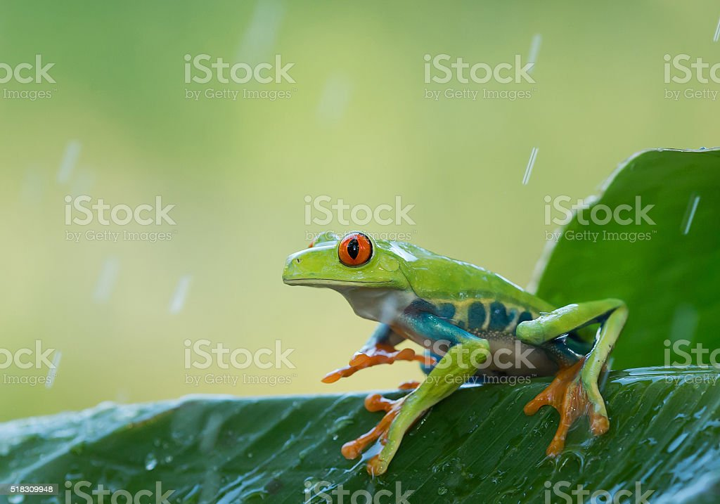 Red eye tree frog on the leaves stock photo