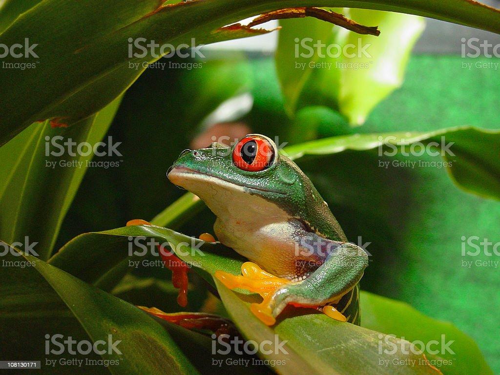Red Eye Tree Frog royalty-free stock photo