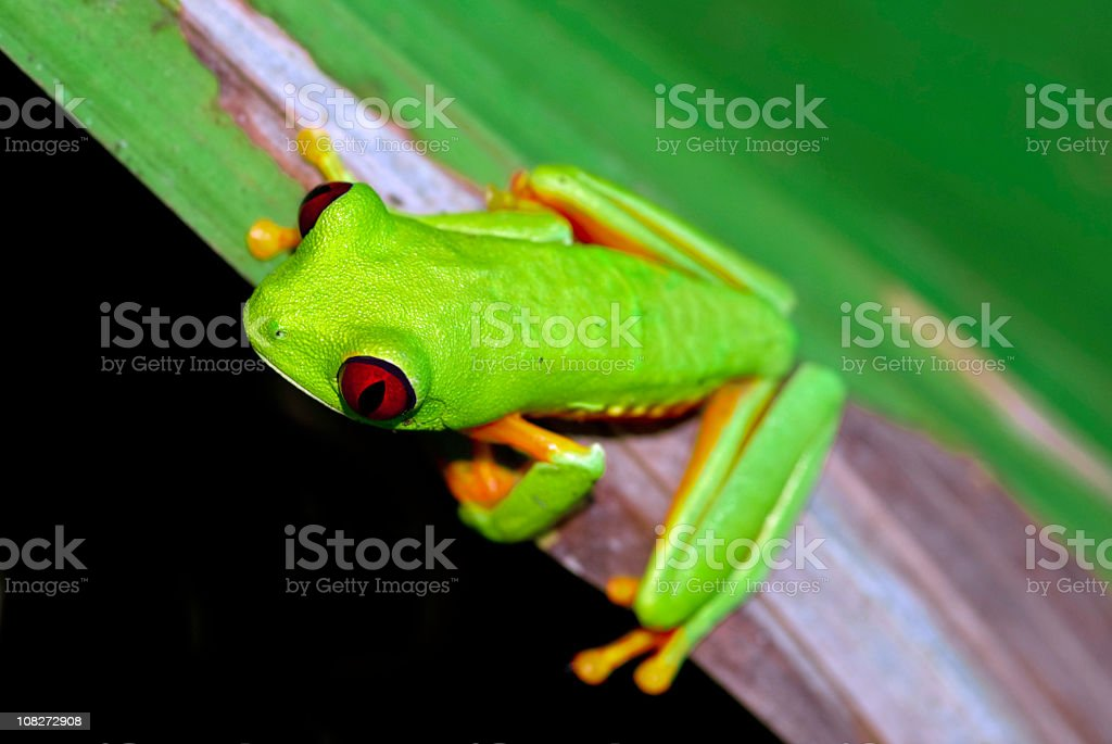 red eye tree frog royalty-free stock photo