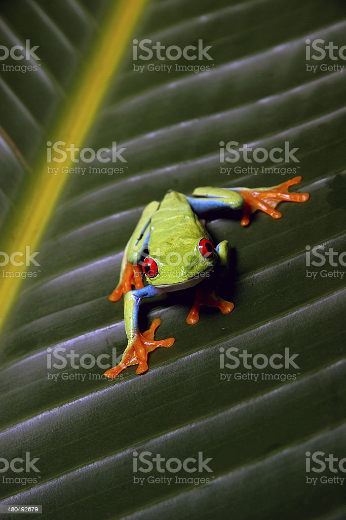 Red Eye Tree Frog stock photo