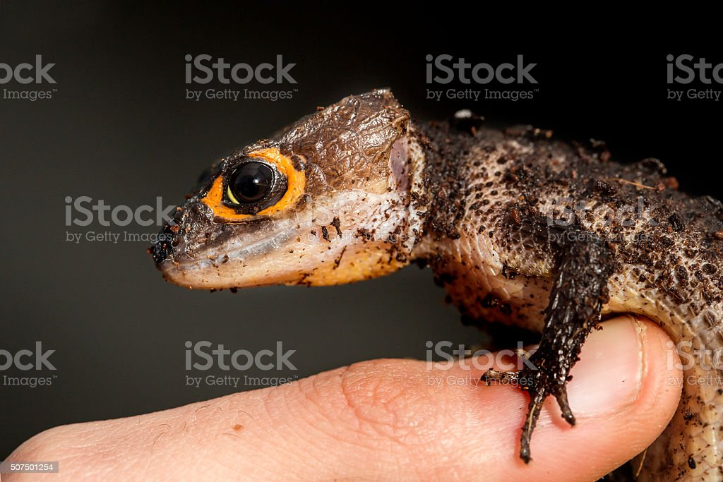 Red eyed crocodile skink on a finger of a man stock photo