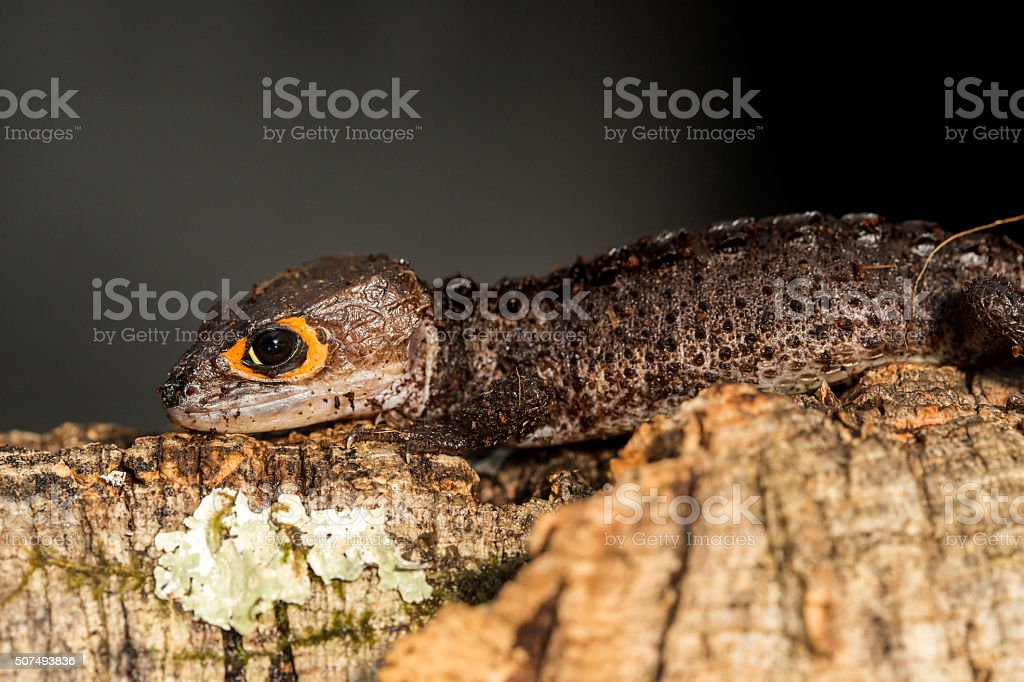 Red eyed crocodile skink on a tree trunk stock photo