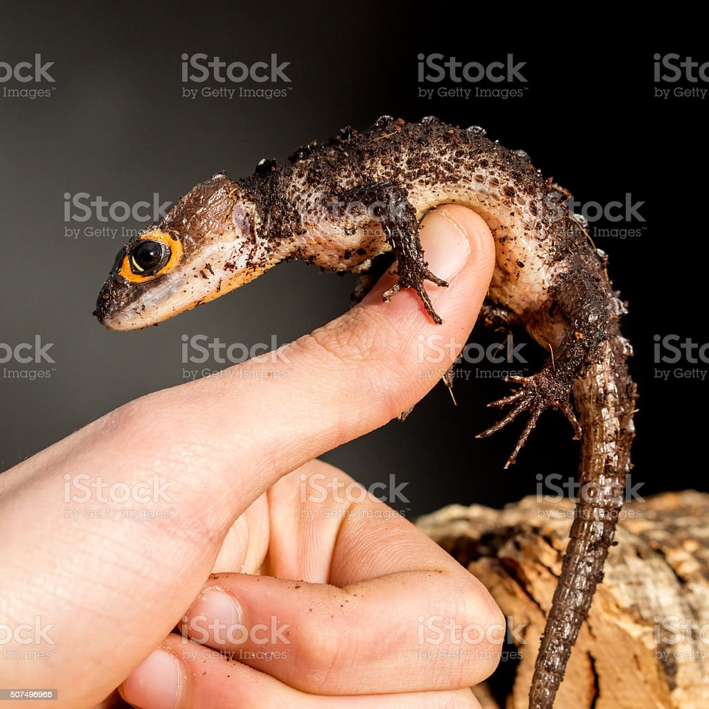 Red eyed crocodile skink on the hand stock photo