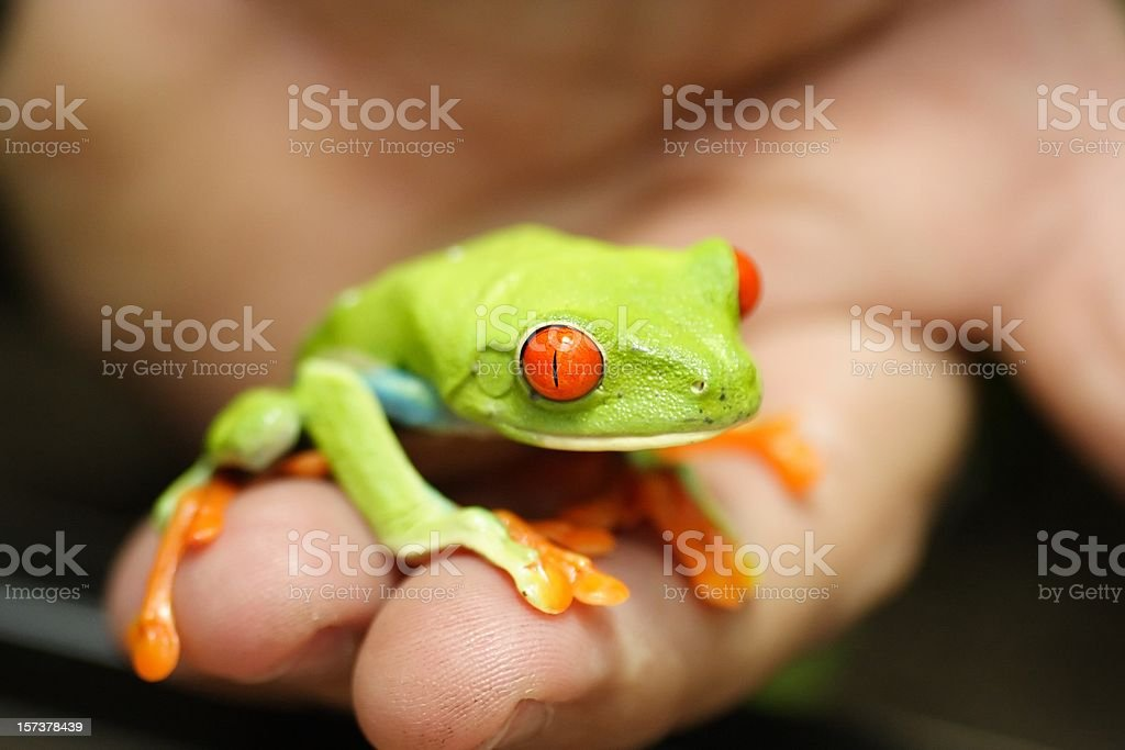 Red eyed frog in the palm of my hand stock photo