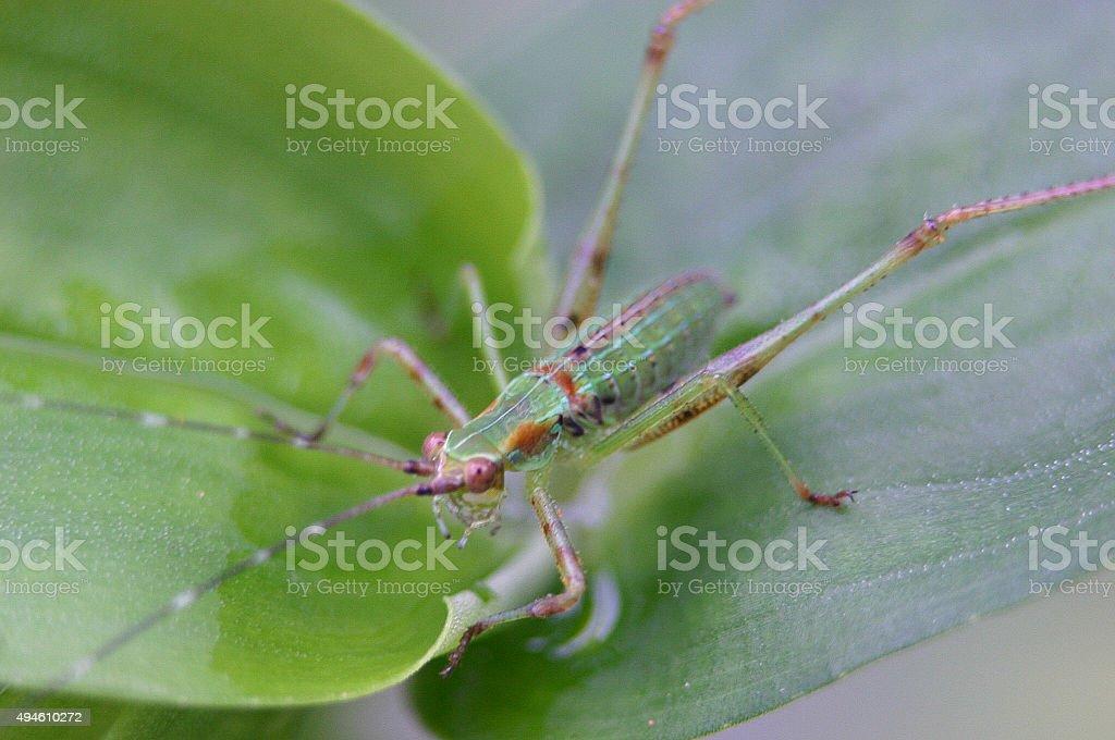 Red Eyed Grasshopper stock photo