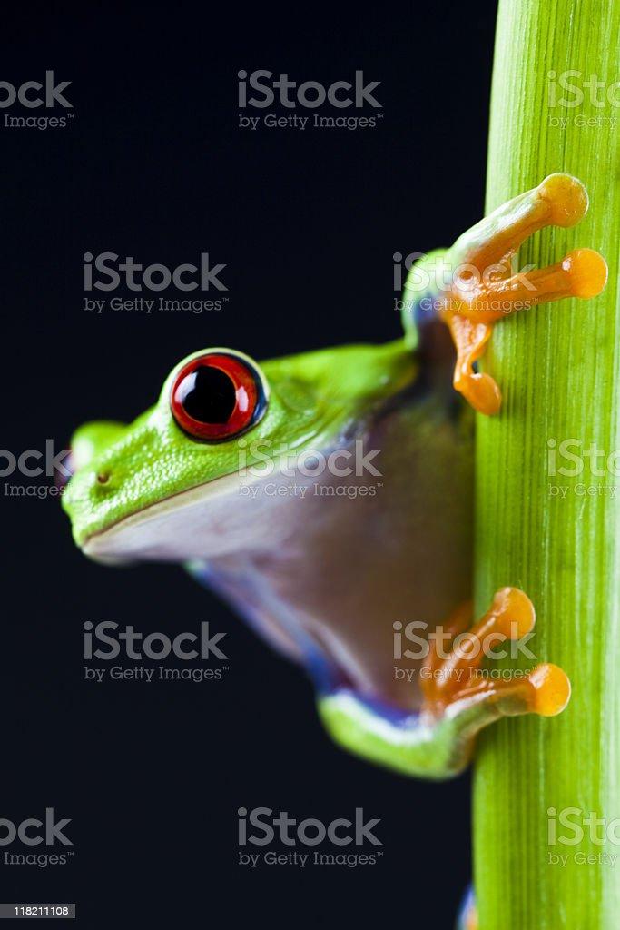 Red eyed leaf frog stock photo