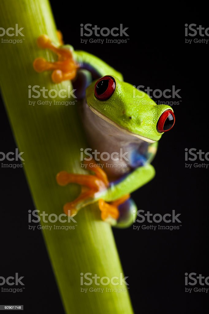 Red eyed leaf frog royalty-free stock photo