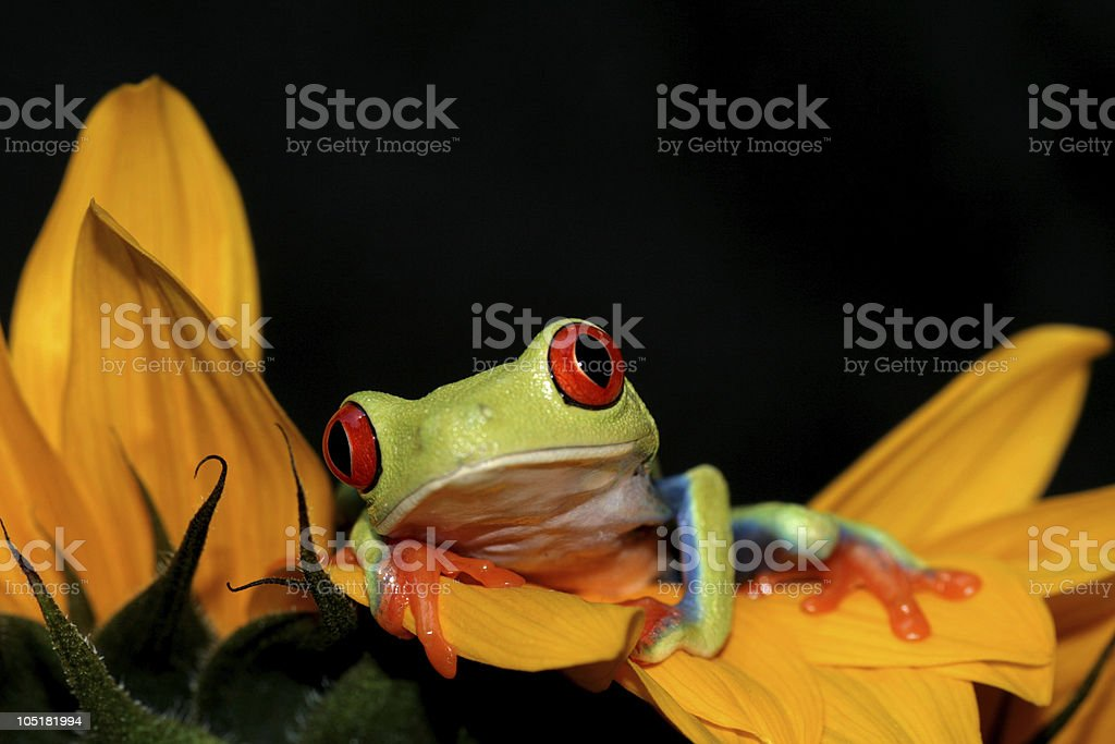red eyed tree frog and sunflower royalty-free stock photo
