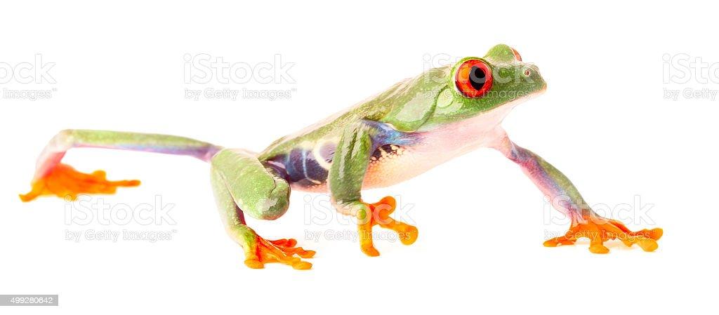red eyed tree frog crawling isolated on white stock photo