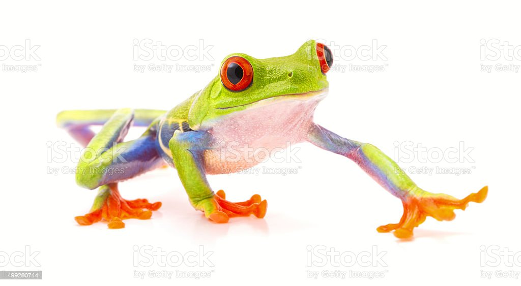 red eyed tree frog isolated on white stock photo