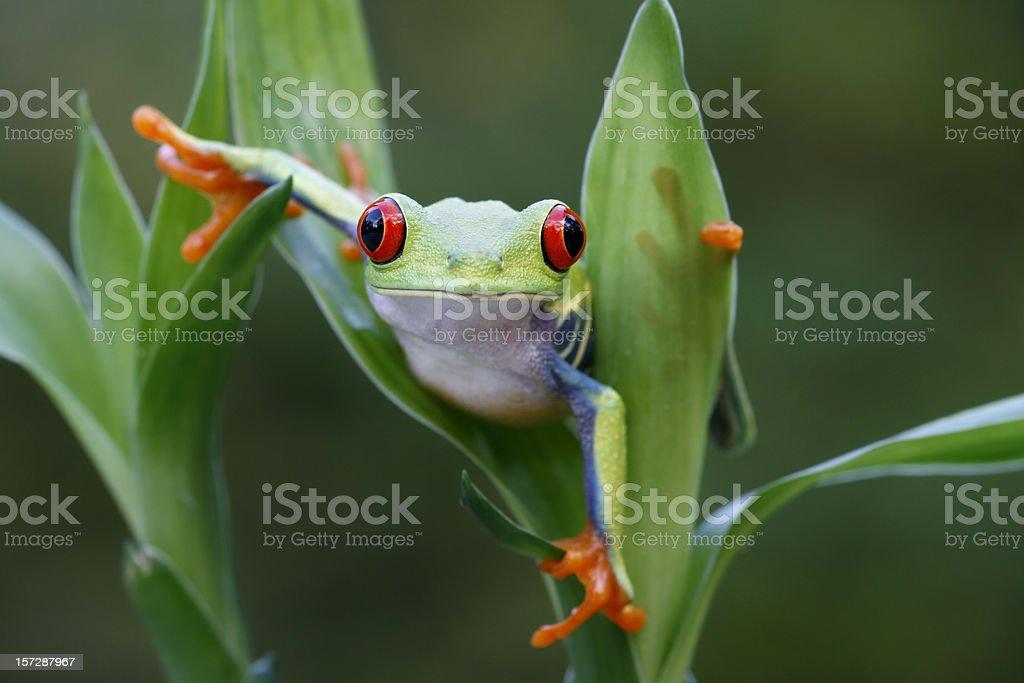 Red Eyed Tree Frog  Maneuvering Around Rainforest stock photo