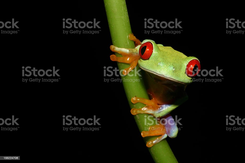 Red eyed tree frog on a stalk royalty-free stock photo