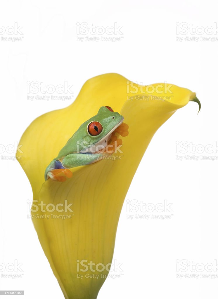 Red Eyed Tree Frog on Yellow Calla royalty-free stock photo