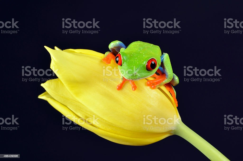 Red eyed tree frog on yellow tulip stock photo