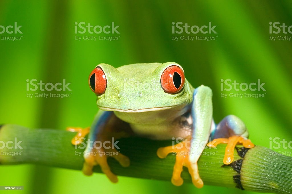 Red Eyed Tree Frog stock photo