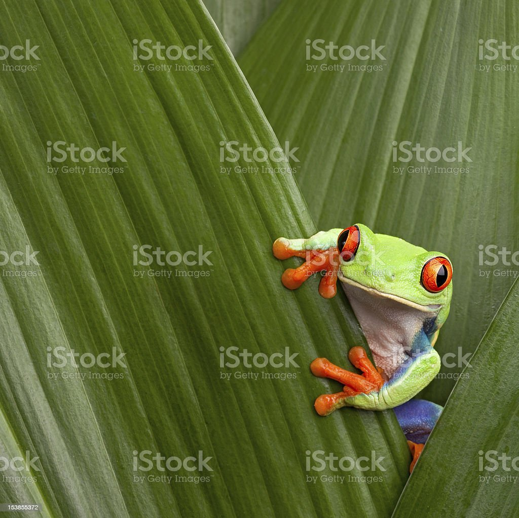 red eyed tree frog royalty-free stock photo