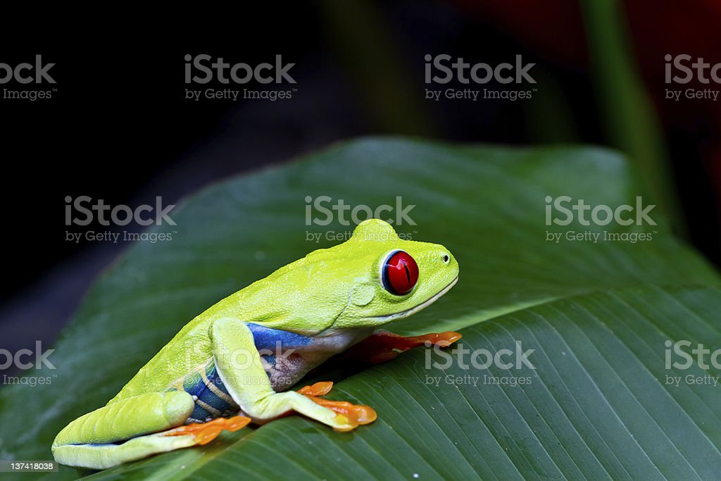 Red eyed tree frog side on stock photo