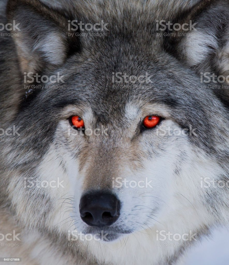 Red eyed wolf stock photo