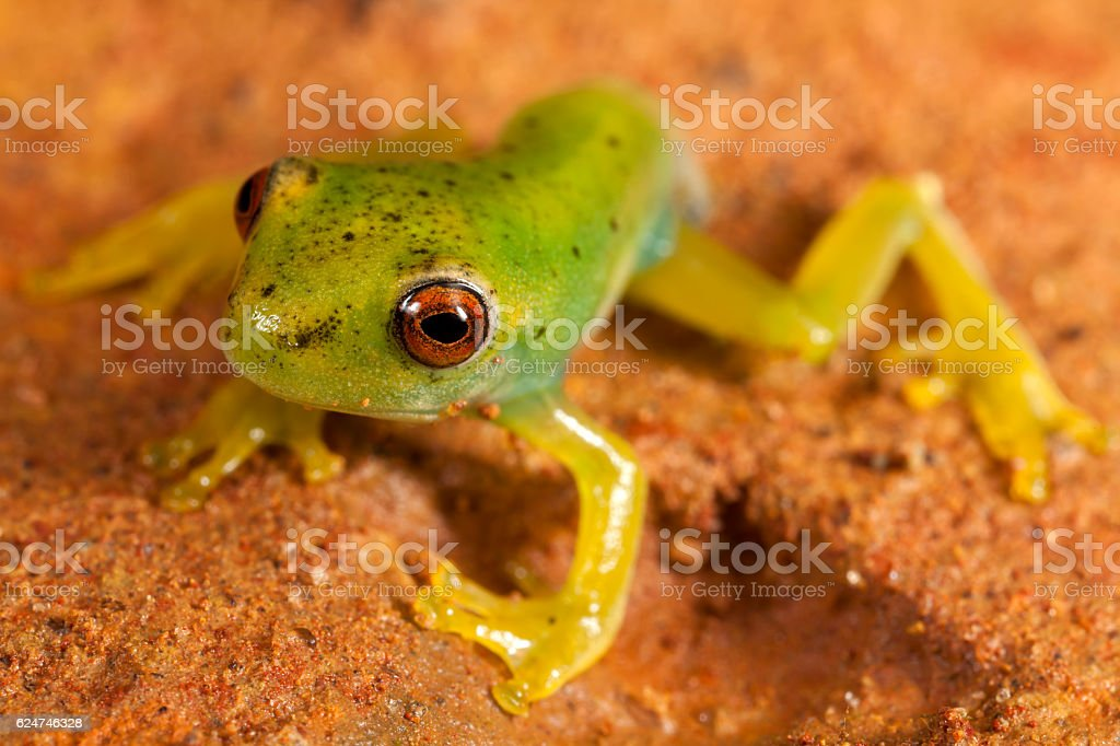 Red eyes green frog on brown ground stock photo