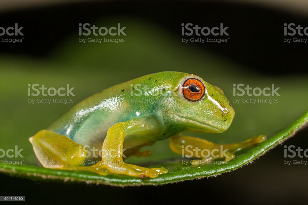 Red eyes green frog on leaf stock photo
