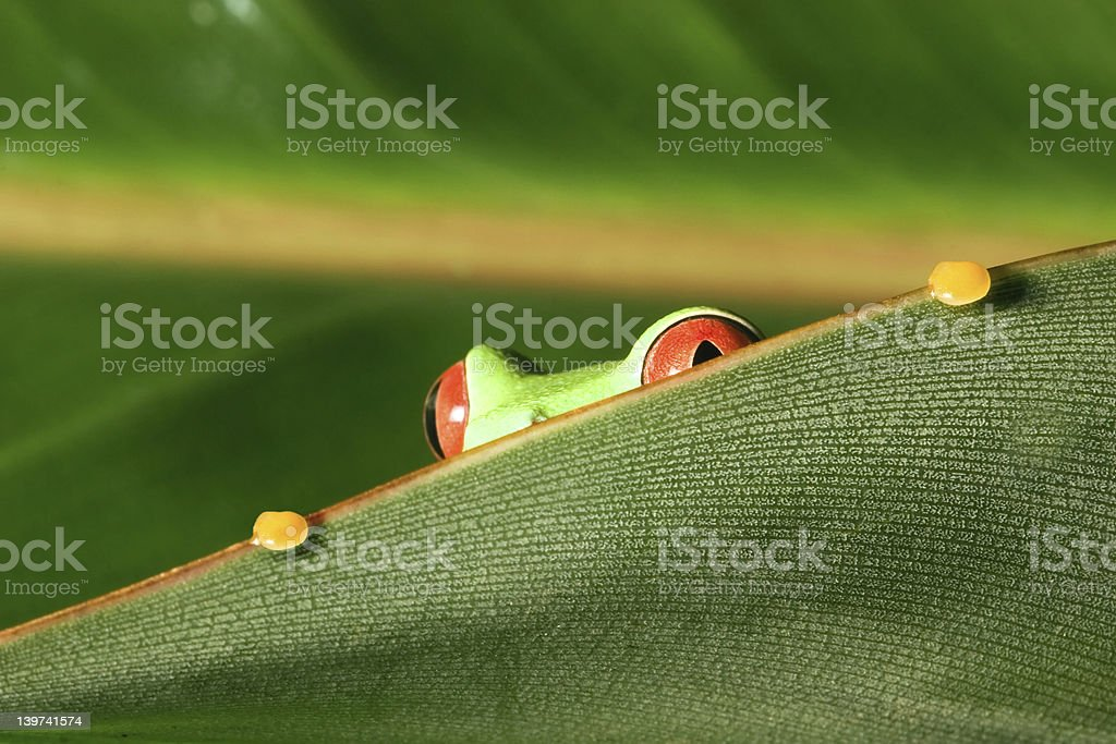 Red eyes tree frog peeking out from leaf stock photo