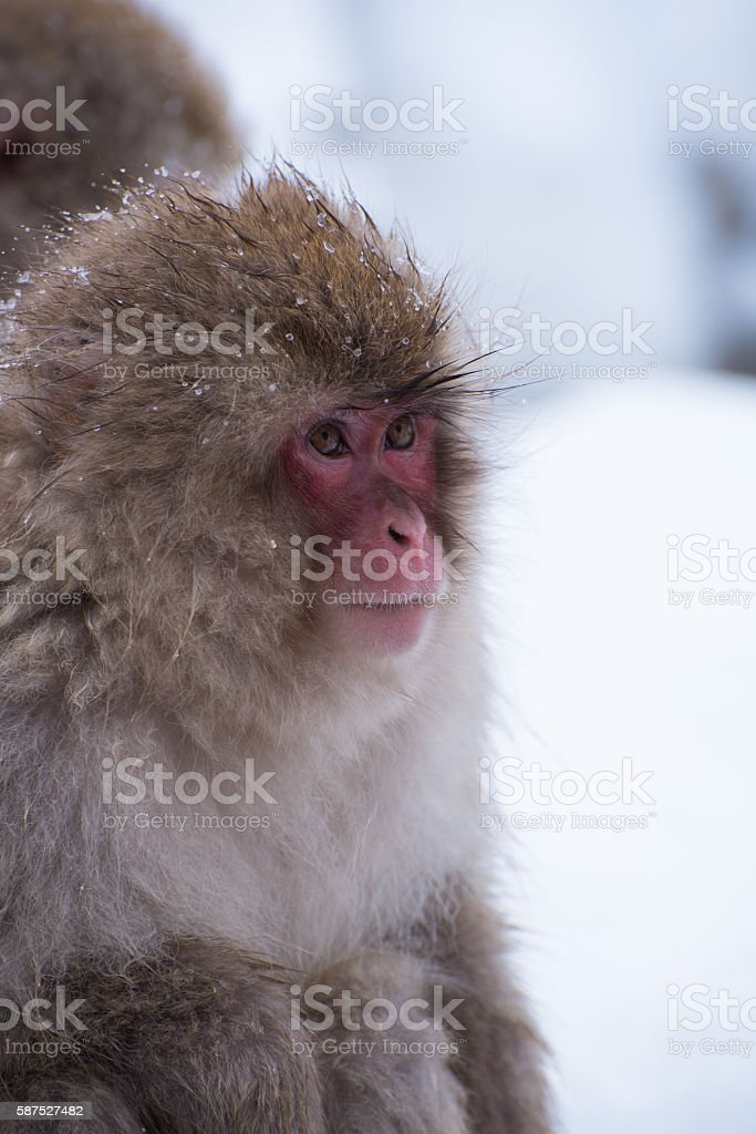 red face snow monkey stock photo