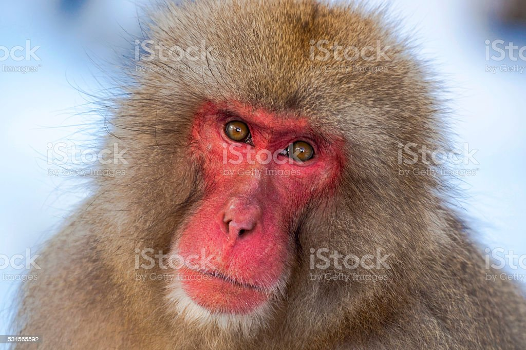 Red faced Japanese macaque staring at viewer stock photo