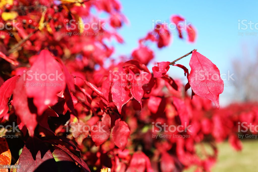 Red fall foliage stock photo