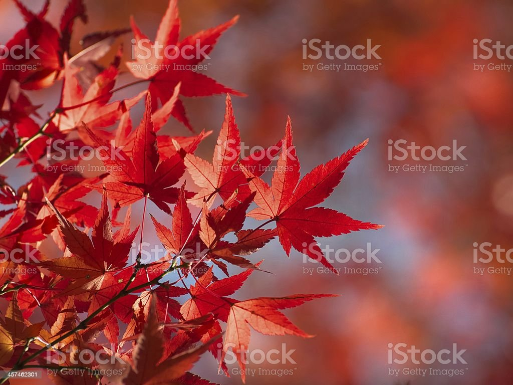 Red Fall Leaves of Japanese Maple royalty-free stock photo