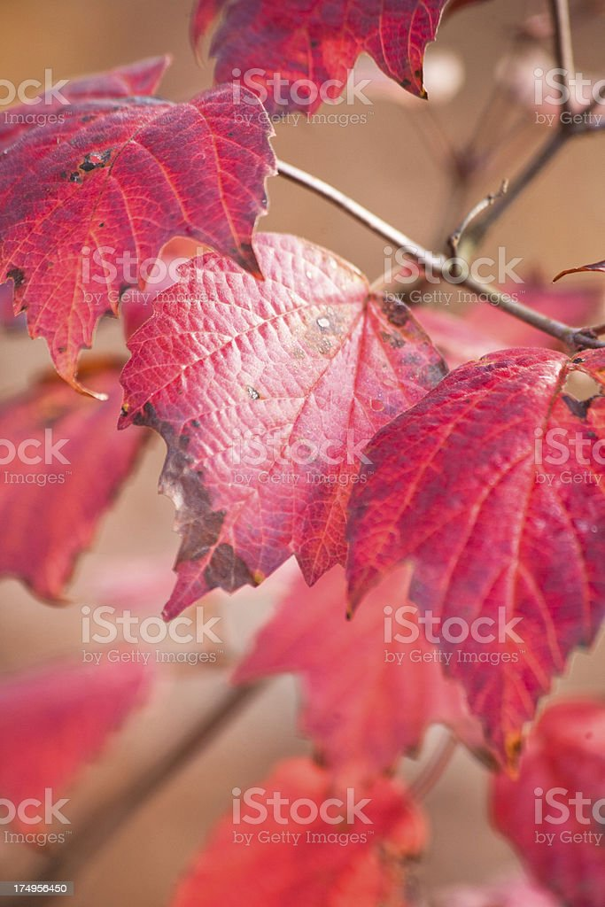 Red Fall Leaves stock photo