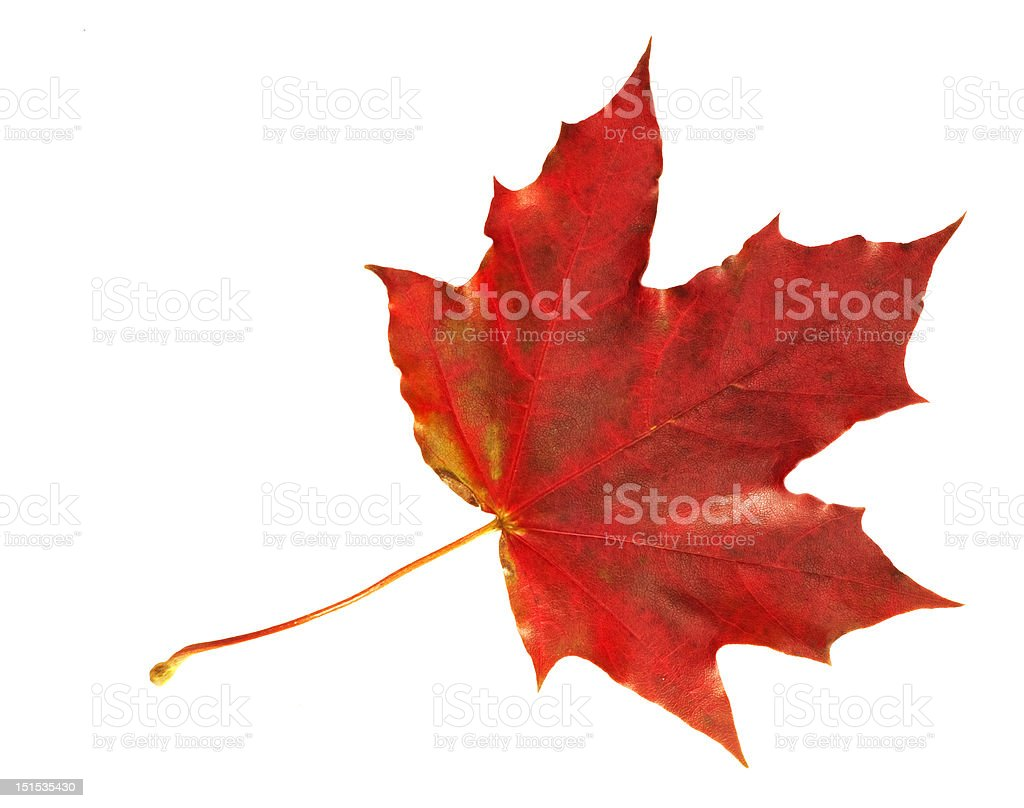 Red Fall Maple Leaf stock photo