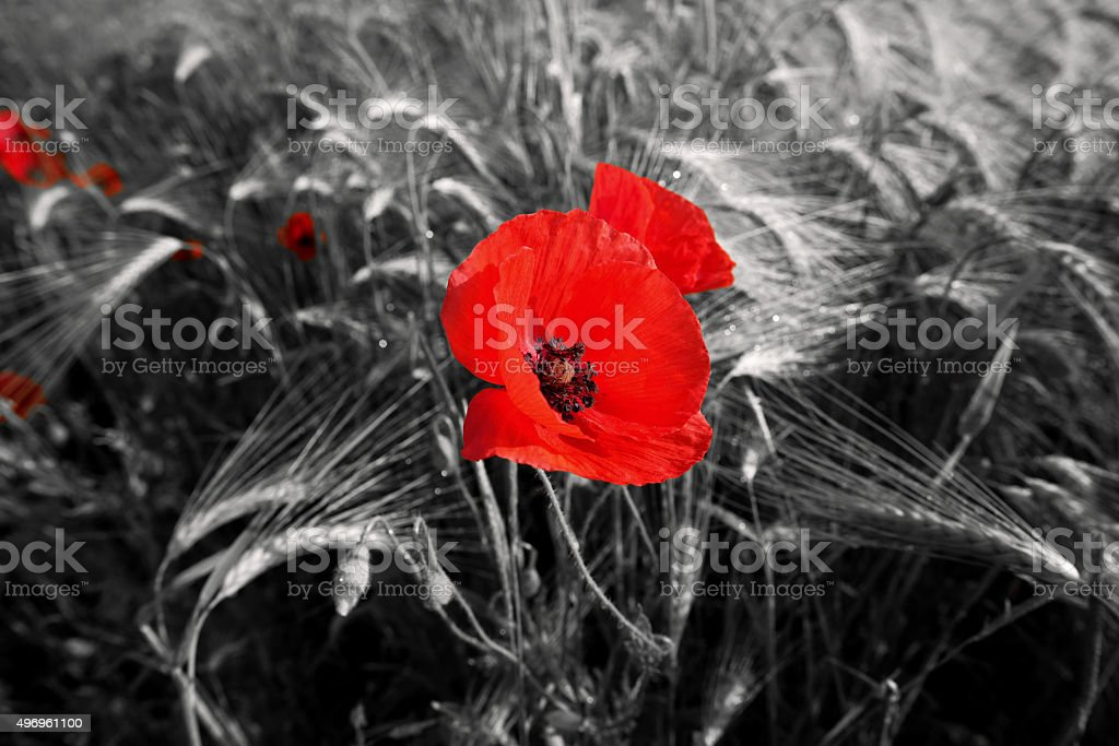 Red field poppies stock photo