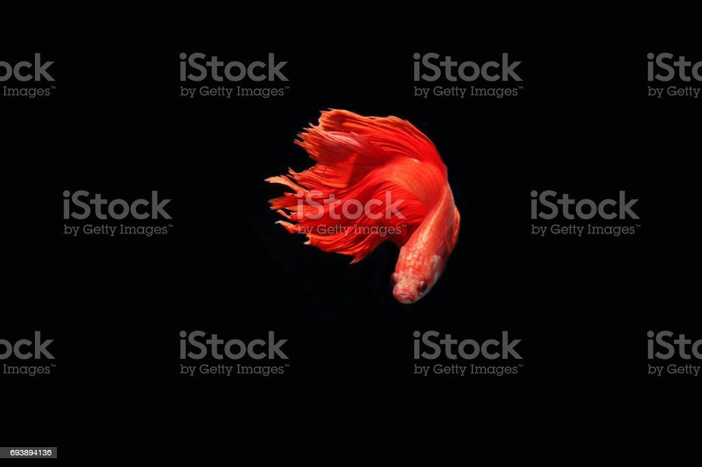 Red fighting fish stock photo