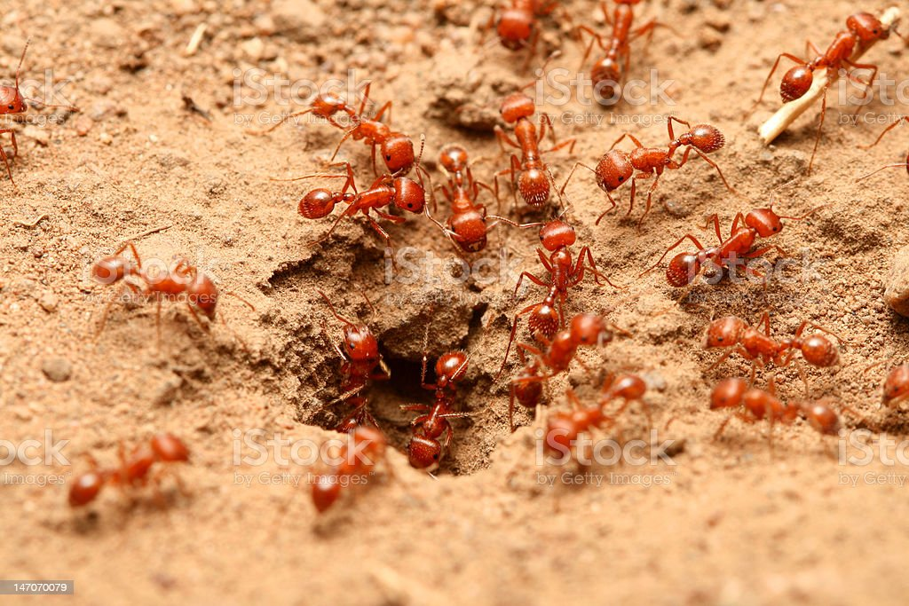 Red fire ant royalty-free stock photo