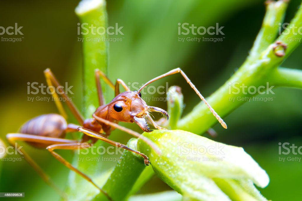 Red fire ant worker on tree. focus on head. stock photo