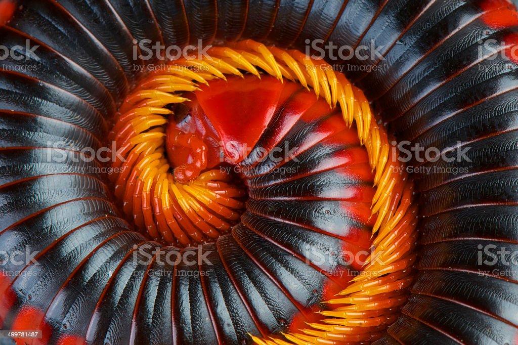 Red fire millipede / Aphistogoniulus corallipes stock photo