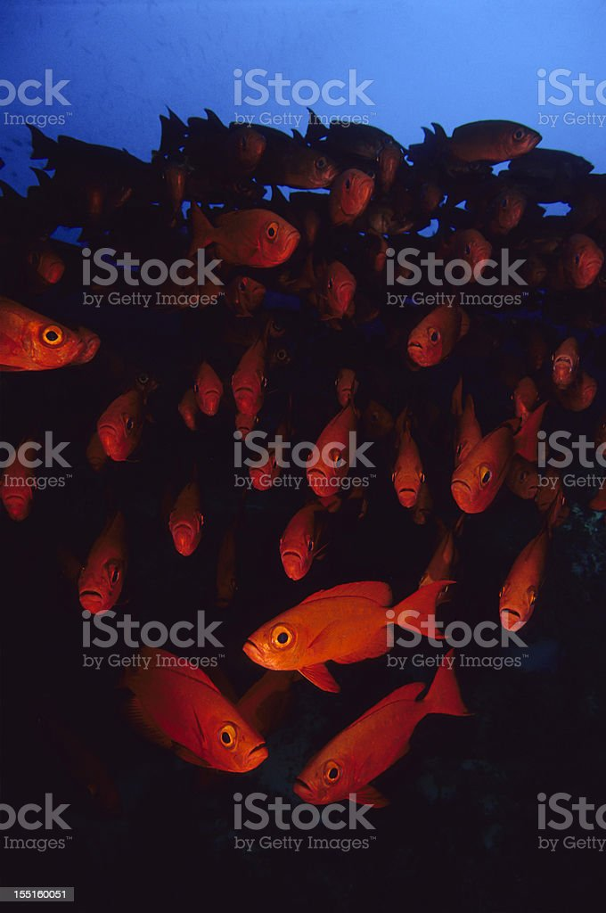 Red Fish in Deep royalty-free stock photo