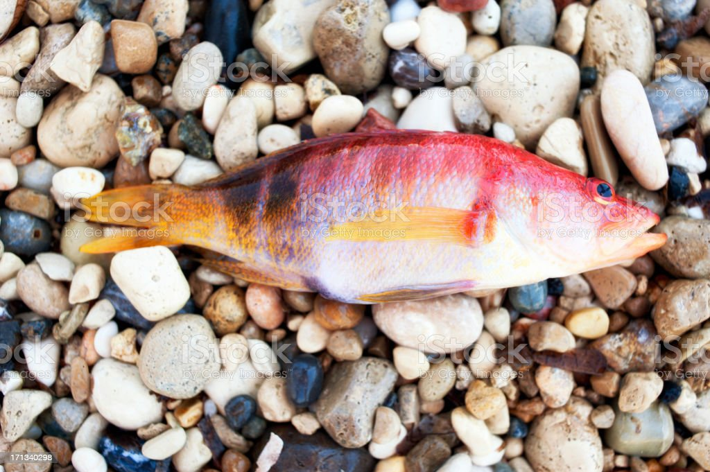 Red fish on pebbles royalty-free stock photo