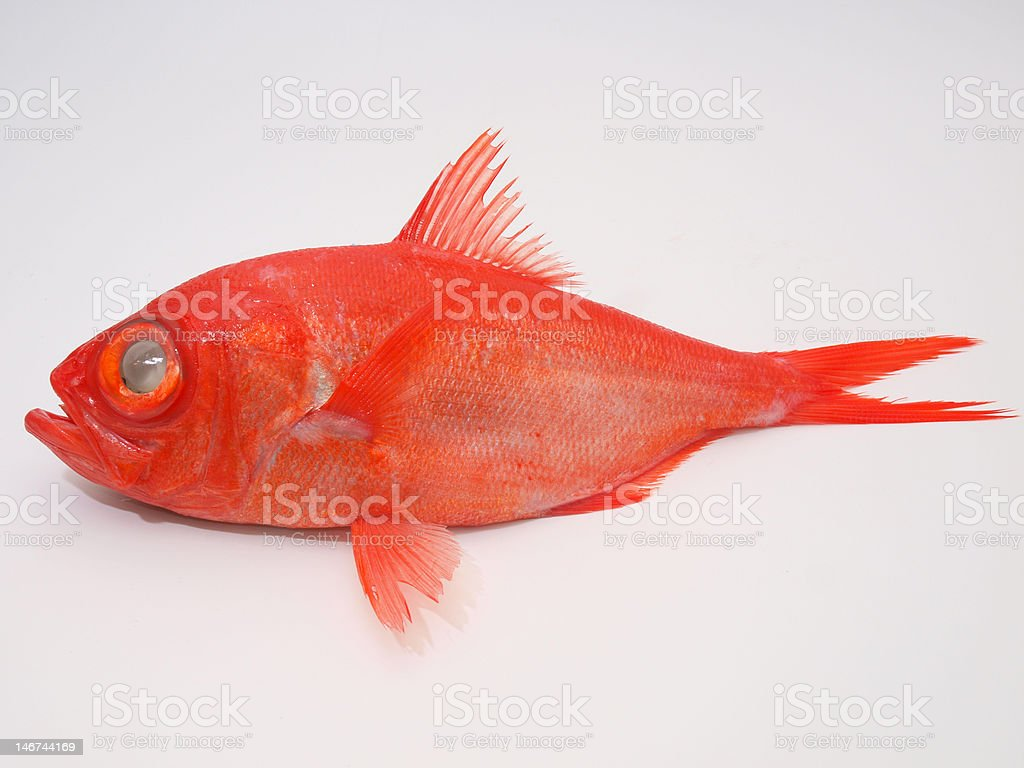 Red Fish (alfonsin 02) royalty-free stock photo
