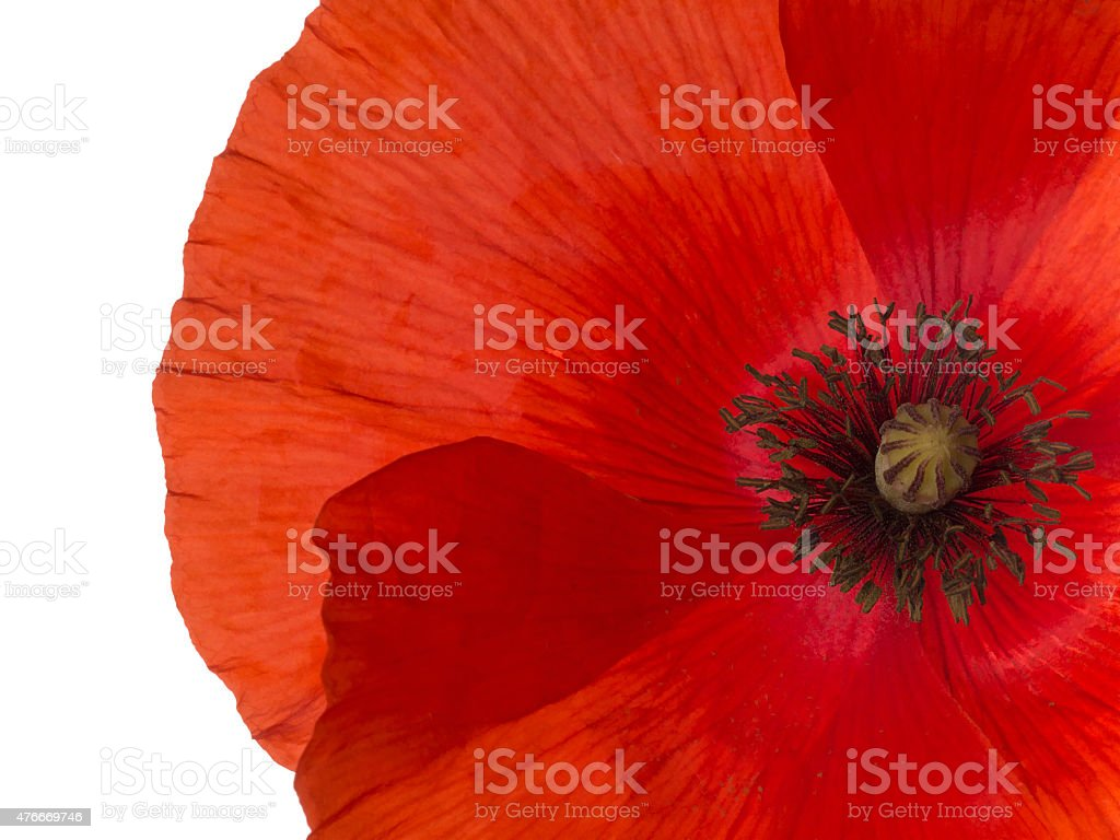 Red Flanders poppy detail, isolated stock photo