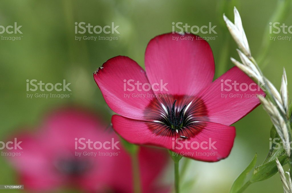 Red flax royalty-free stock photo