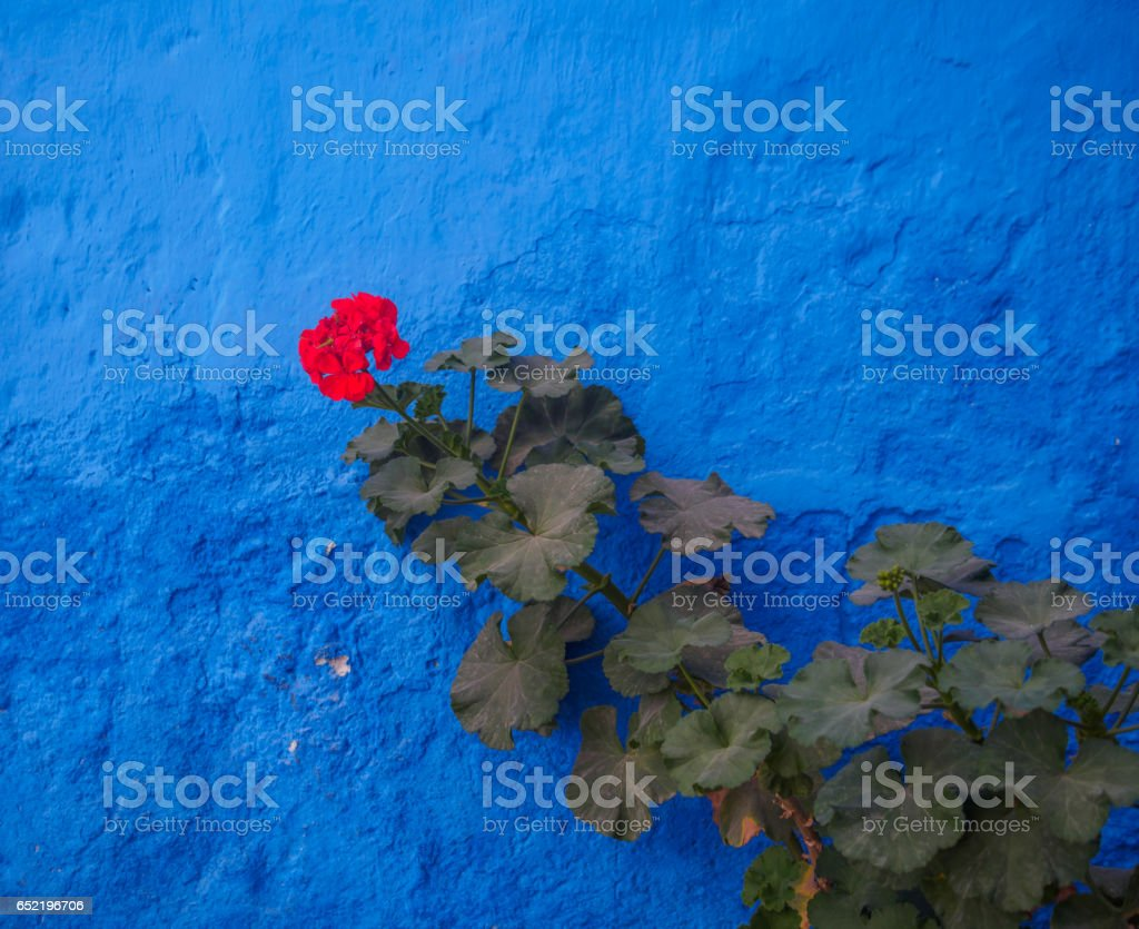 Red flower and green branch in front of an intense blue wall stock photo