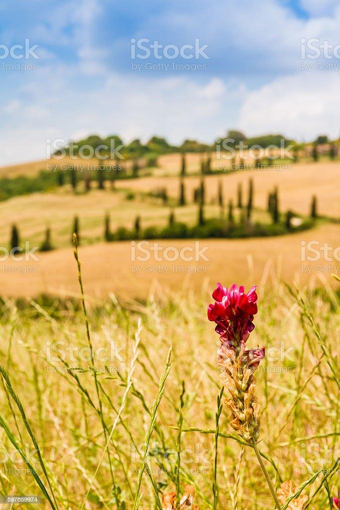 red flower and winding road in crete senesi Tuscany, Italy stock photo