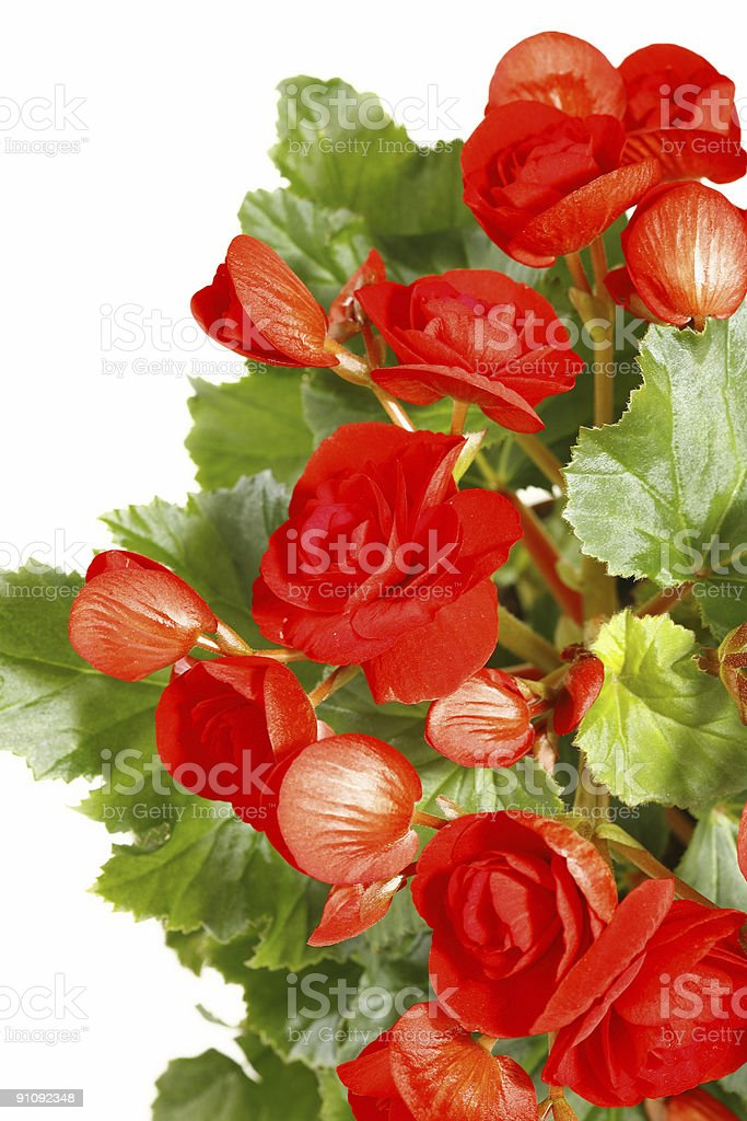 red flower begonia on green leafs royalty-free stock photo